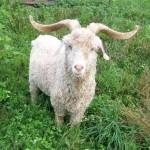 Angora-goats