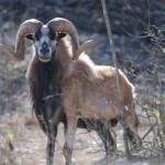 Corsican-Sheep