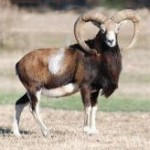 Hybrid Mouflon Sheep