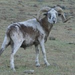 painteddesertsheep